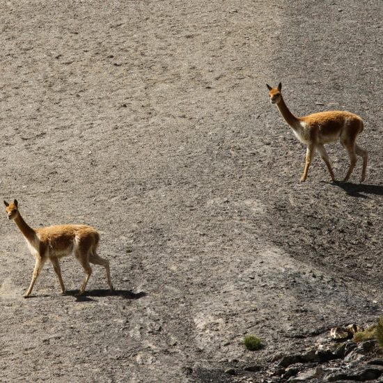 Trek Ausangate : vigognes