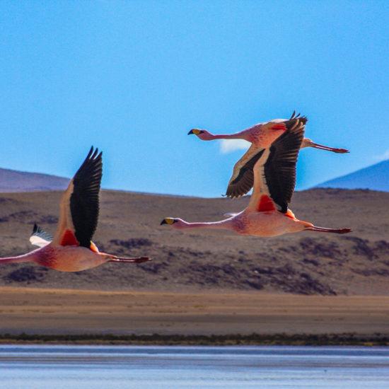 Vol de flamants sur l'altiplano